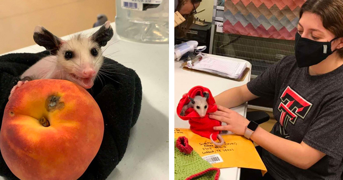 "Man Drops Off ""Hairless Cat"" At Animal Rescue Shelter But It Was Actually A Baby Possum"