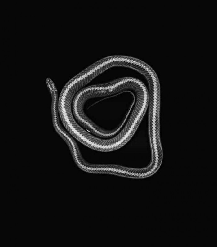The x-ray of a corn snake.