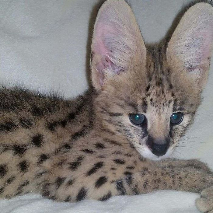 """""""The serval cat that was missing has been found. It was trapped near its home and is in good health. It's been reunited with its owner. Thank you for all the interest and shares,"""" Merrimack Police Department announced on Facebook."""