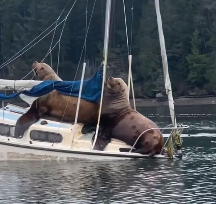 People that are living near sea lions say that it not so unusual to see them climb on boats to take a rest, and they sink them sometimes.