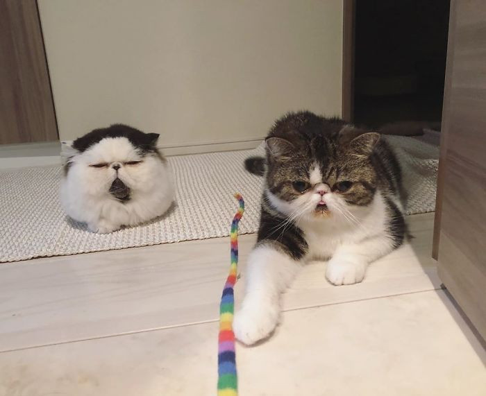 Bocco is an Exotic Shorthair while Zuu is an Exotic Longhair, they are both males.