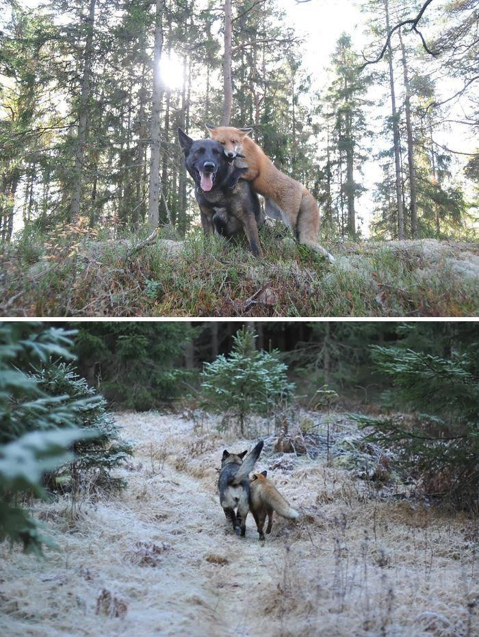 8. Tinni The Dog And Sniffer The Wild Fox