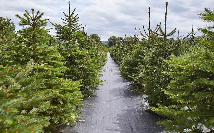 The London Christmas Tree Rental, established by Jonathan Mearns and Catherine Loveless, wants to cut the number of Christmas trees that end up in landfills
