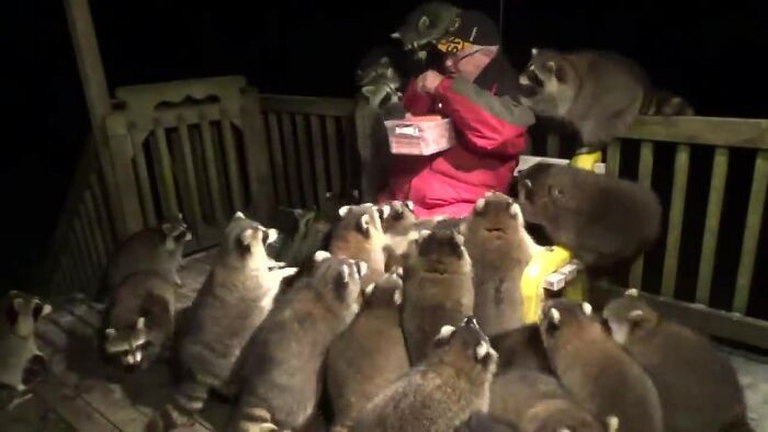 Video shows James hand-feeding hot dogs to a gang of adorable raccoons