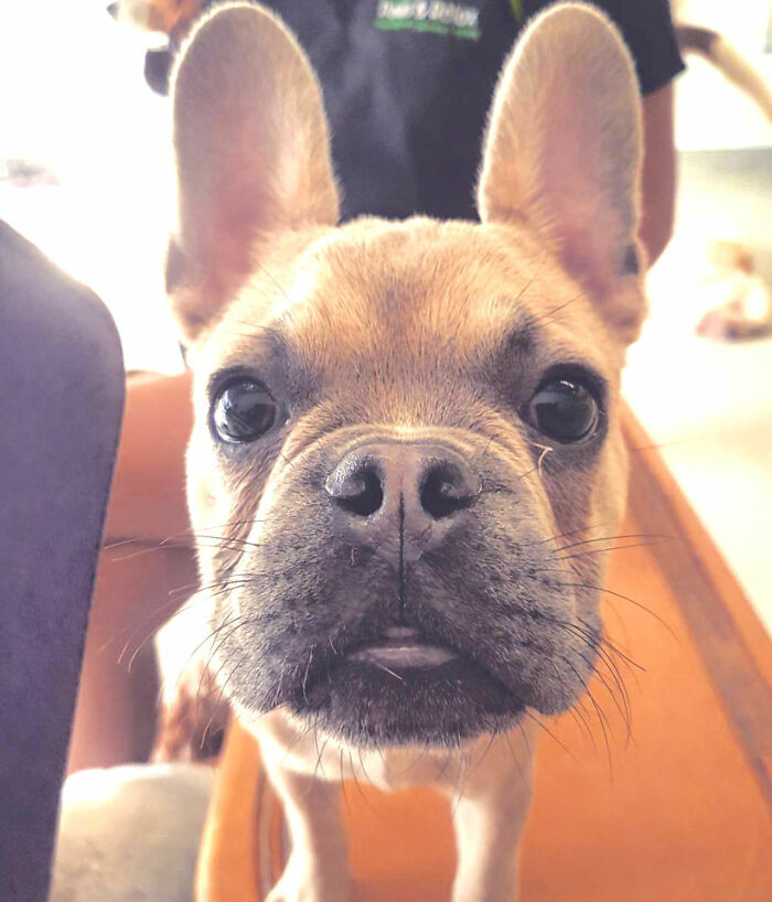 One such person is Chantal van Kruining, a veterinary assistant who is passionate about Frenchies.