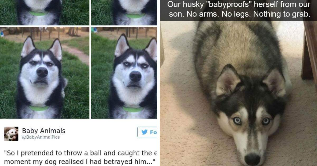 10+ Hilarious Photos That Will Remind You Of Just How Weird Huskies Are