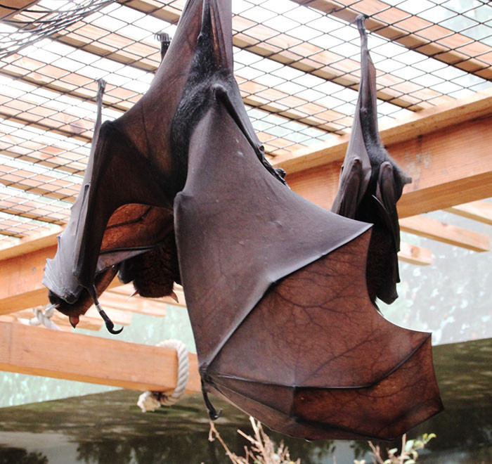 Even if they are not human-sized, flying foxes are the largest bats in the world