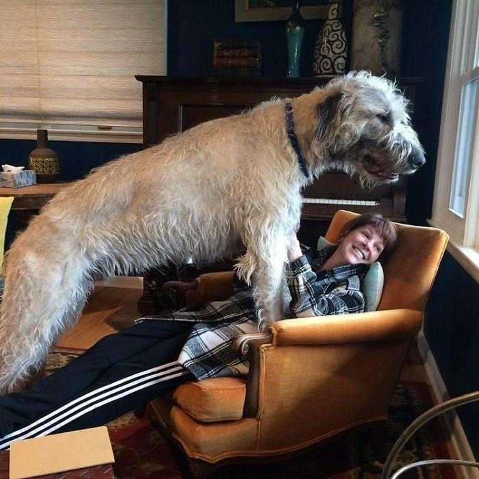 #36 My Buddy Chester Almost One Year Old Irish Wolfhound. He Wanted To Look Out The Window