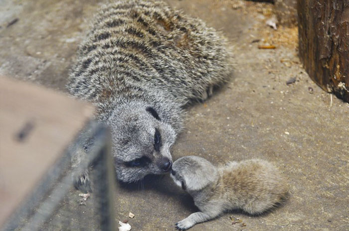 Meerkats educate their young and are sure to teach them valuable survival skills. Pups also mimic the adults in the group and learn from their behavior.