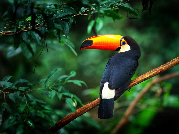#41 Toucans Curl Into A Little Tiny Ball When They Sleep