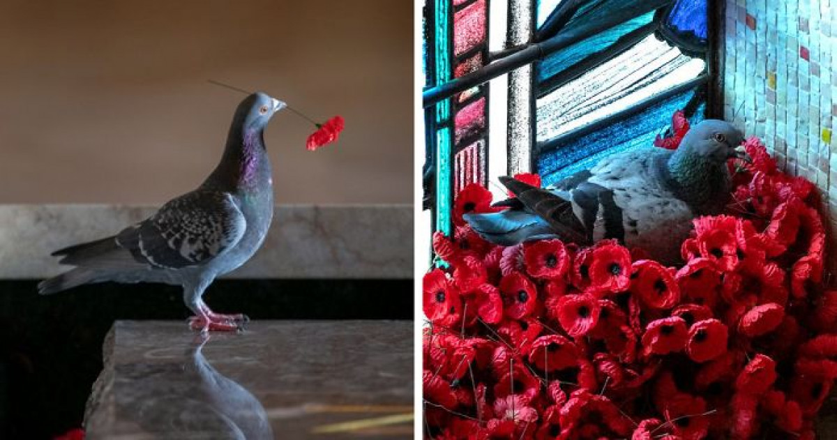 Pigeon Steals Poppies From Unknown Soldier's Grave And Builds Stunning Nest