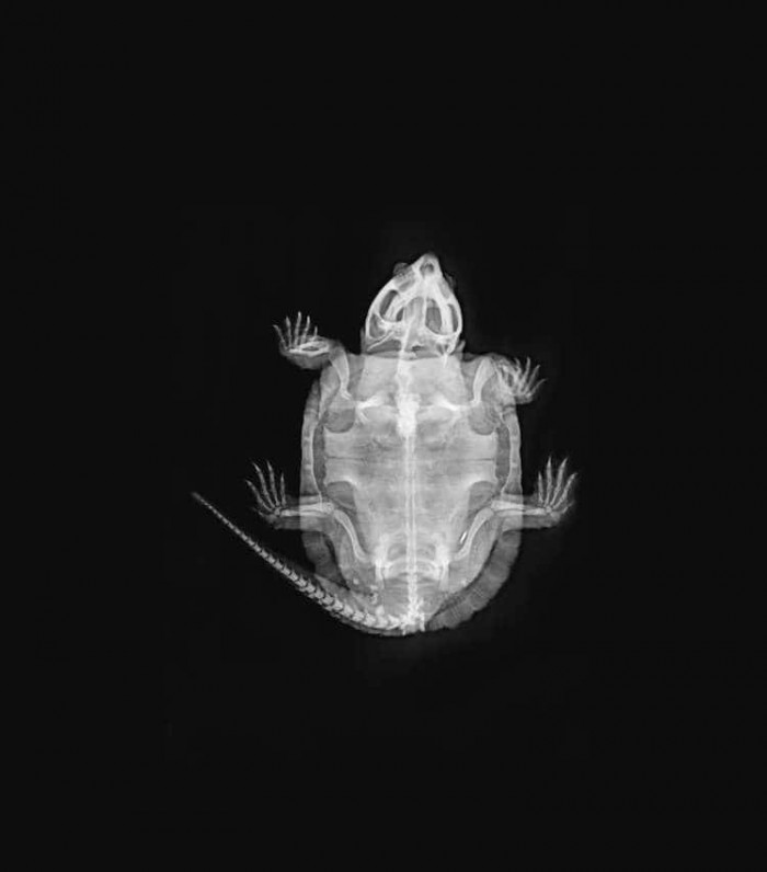 The x-ray of a big-headed turtle.