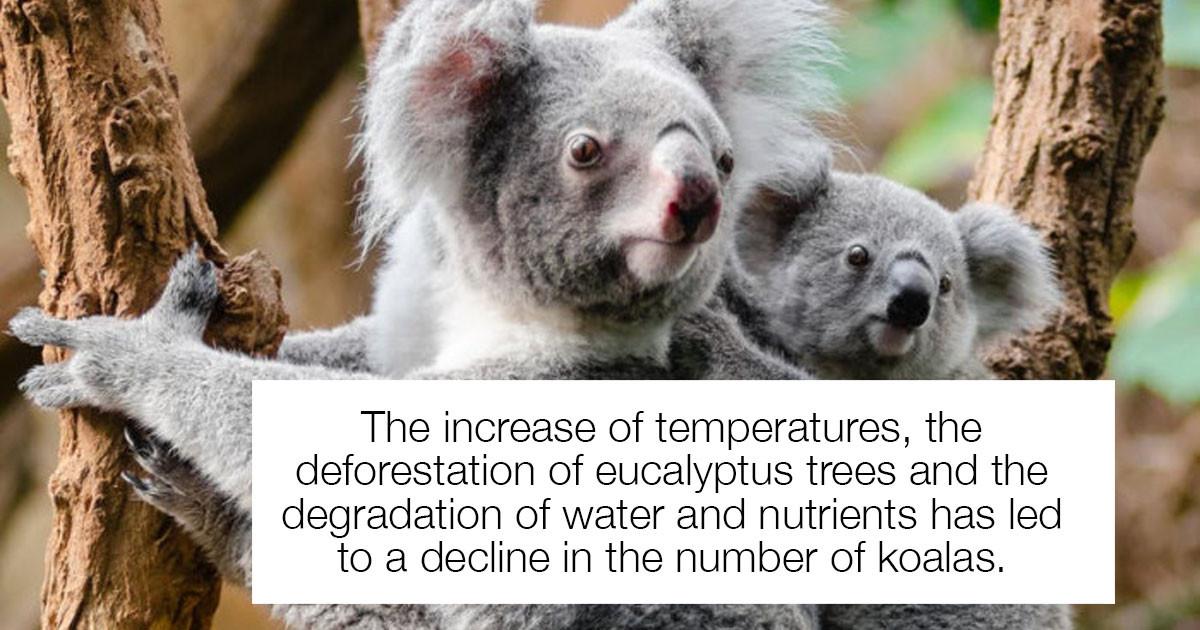 "Koala's Found To Be ""Functionally Extinct"" In Parts Of Australia"