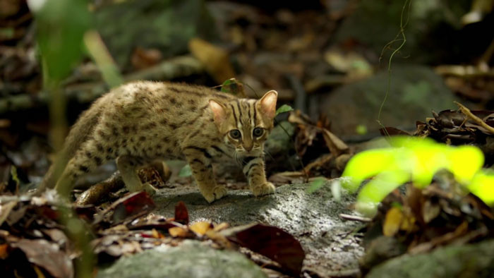 The rusty-spotted cat are often described as a smaller version of a leopard with their rust-colored coat and spots. The average rusty-spotted cat measures at around 35–48cm with a tail measuring around 15-30cm in length.