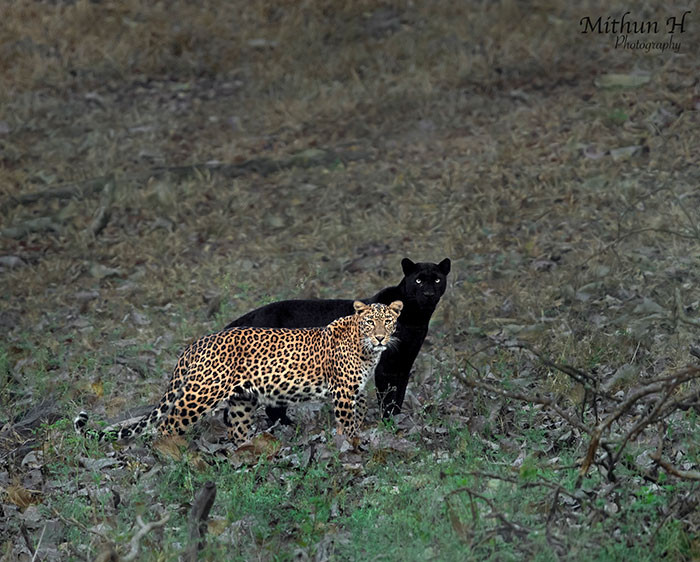 Mithun recently shared a breathtaking photo of a leopard and black panther where the black panther looks like the leopard's shadow.