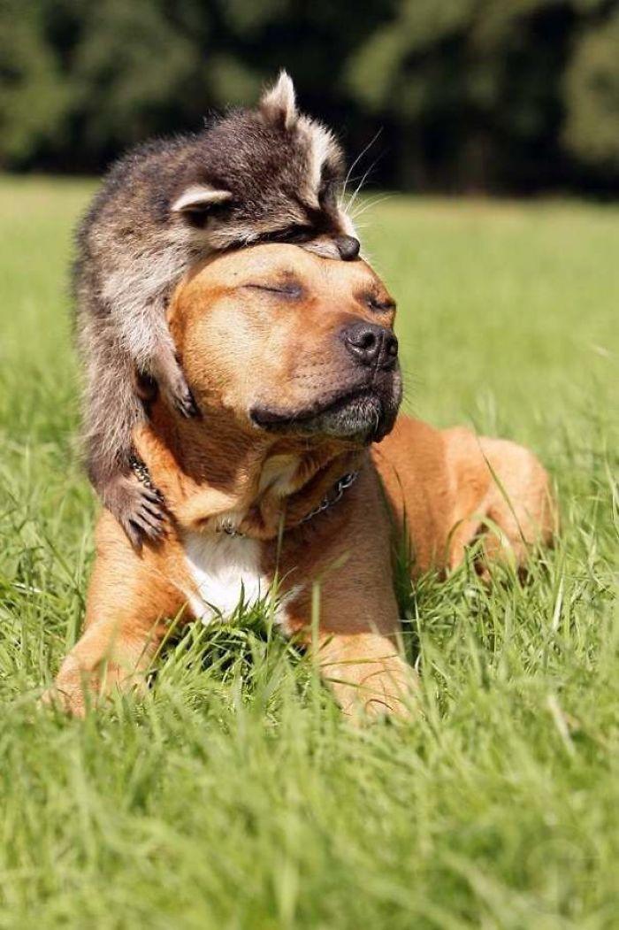 42. Dog And Raccoon Friendship
