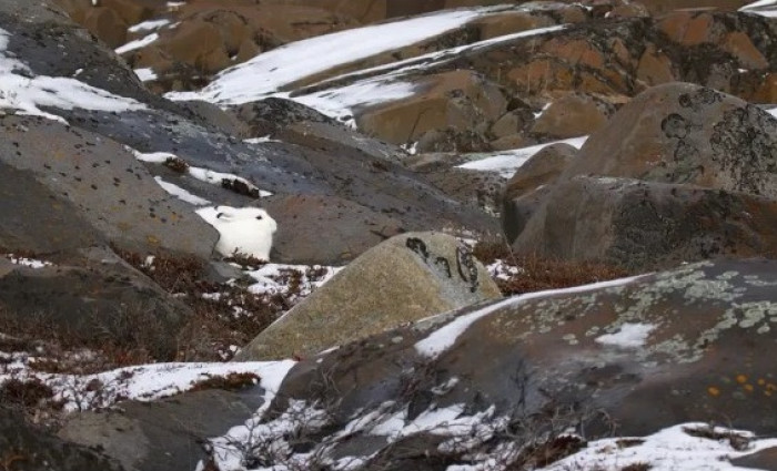 #14 This arctic hare having a rest between the snowy rocks.