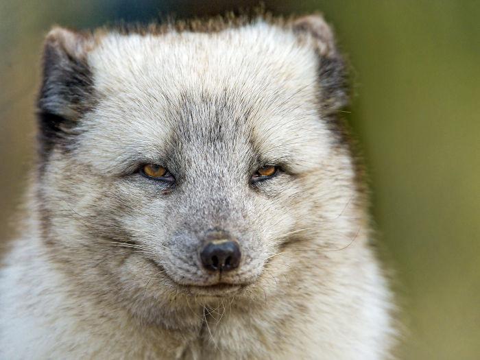 #10 Stone Cold Fox