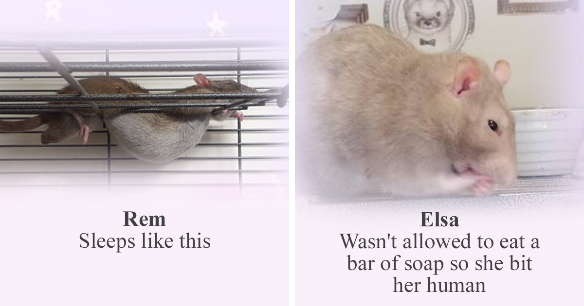 Rat Sanctuary Shames The Naughtiest Rats Of The Week And Praises The Best And It Will Make Your Day