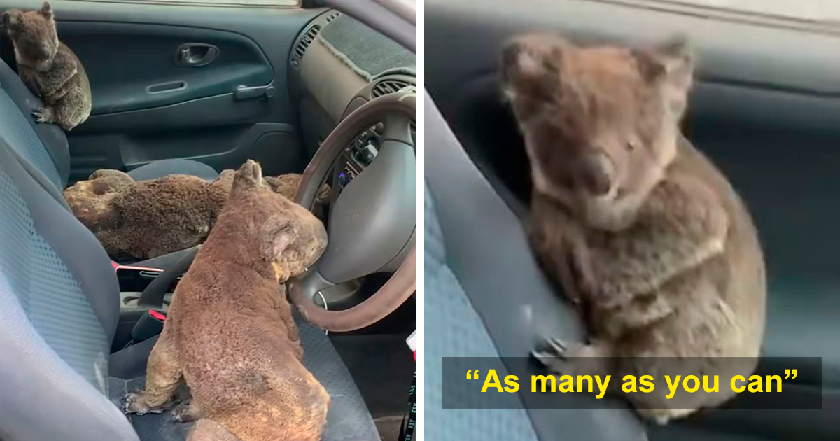 Aussie Teens Frantically Drive Near Deadly Bushfire Zone In A Vast Attempt To Save As Many Koalas As Humanly Possible