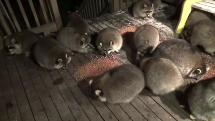 James has been taking care of the local raccoons for the past 25 years to honor his late wife's wishes