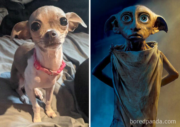 11. Bella, looking like Dobby from Harry Potter.