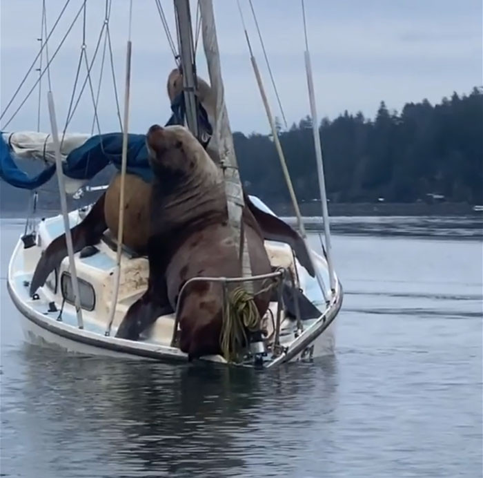 Someone reported that there was even a third sea lion trying to get on the boat, but his two buddies wouldn't let him. The boat would certainly sink then.