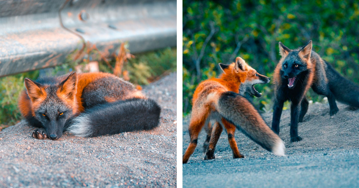 Stunning Photos And Video Footage Of Rare And Wild Black And Red Cross Foxes