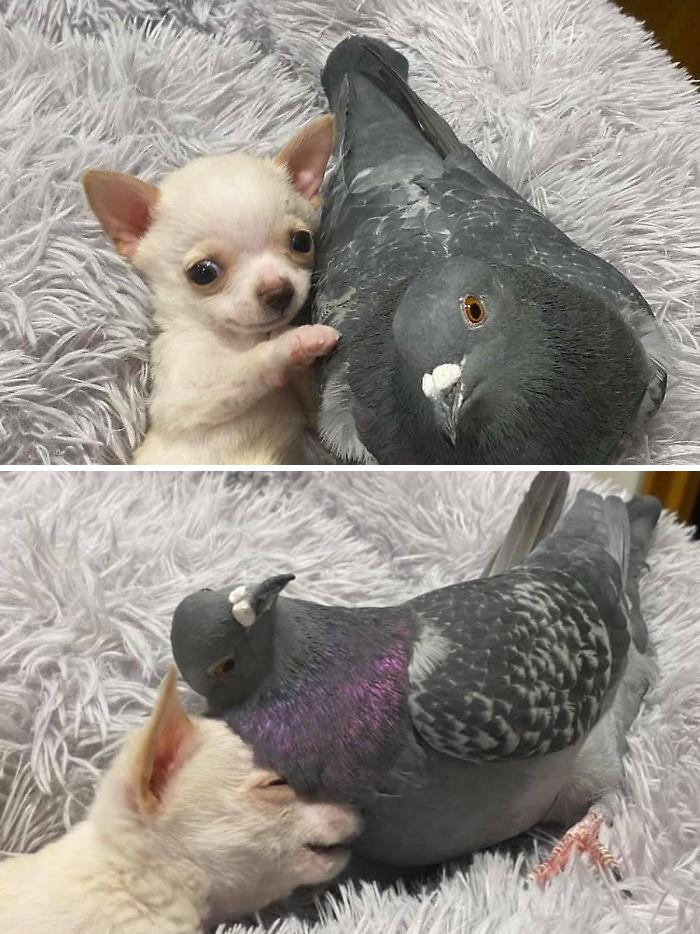 50. Meet Herman, The Flightless Pigeon And His Best Friend Lundy, The Chihuahua Who Can't Walk