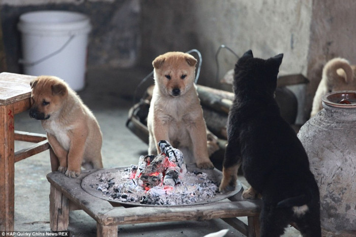 Smart dogs, hanging by the fire