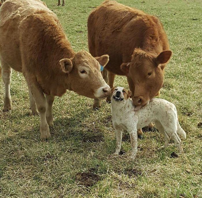43. Doggo & Cow Friendship
