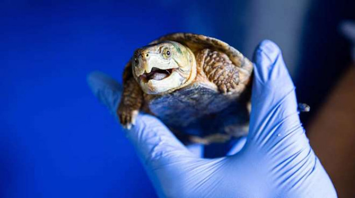 Big-headed turtle (Platysternon megacephalum)