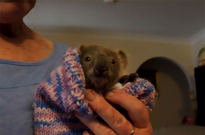 #12 This little koala named Haze was saved by a firefighter