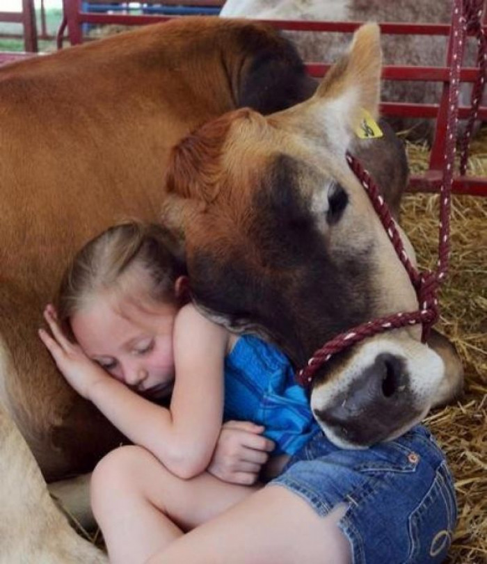 4. I want to nap with a cow!