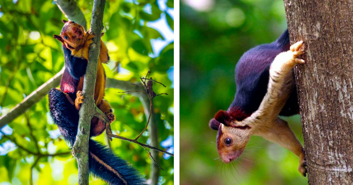 A Giant Rainbow-Colored Squirrel May Sound Like Something From A Fairy Tale, But They Are Real And Absolutely Adorable