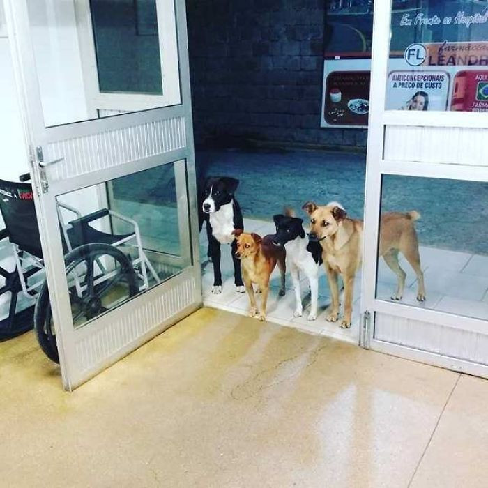 A homeless Brazilian man had to be rushed to the hospital and he was followed there by four street dogs he was looking after. They waited for him patiently at the entrance of the hospital.
