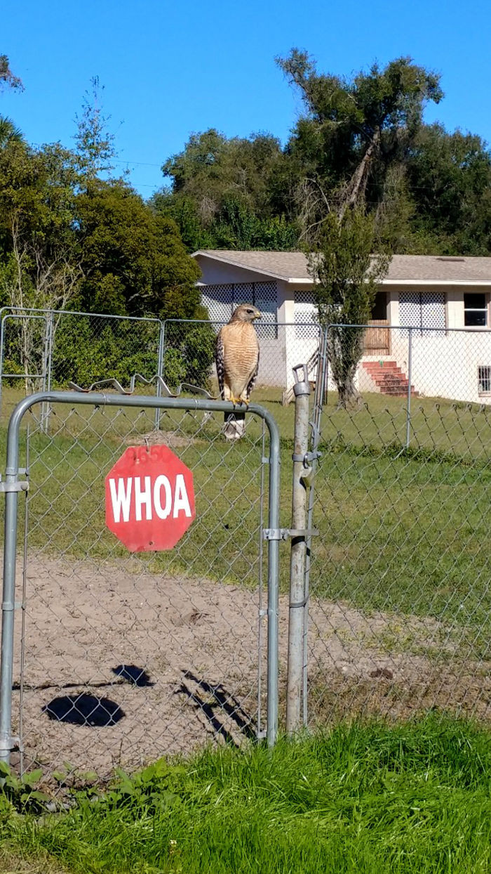 #36 Whoa! This Hawk On My Neighbors Fence.
