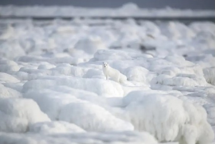 #6 This stunning arctic fox fitting right in with a snowy landscape.