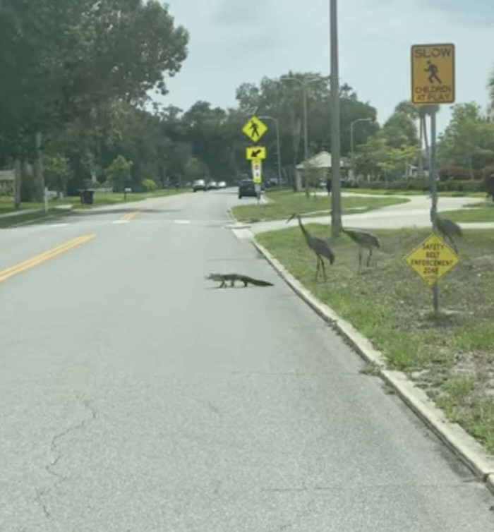 Baby Alligator Stepping Onto The Road