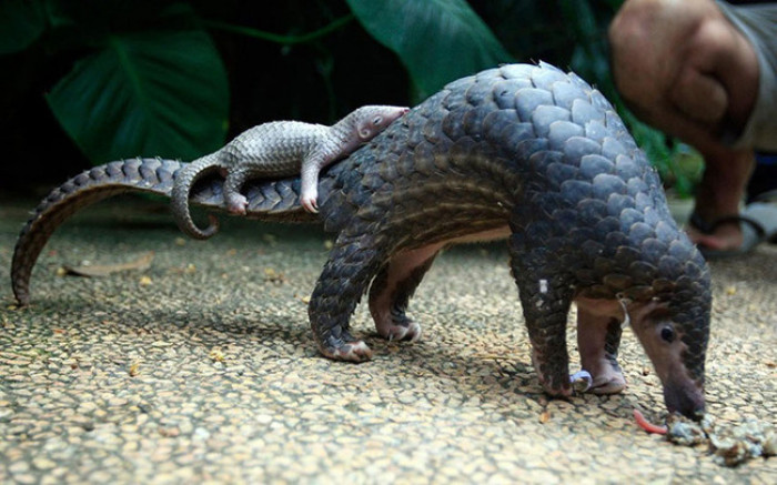 3. Baby Pangolin resting on its mama's tail
