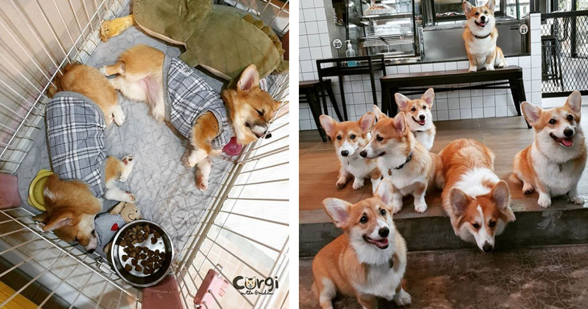 Woman Ends Up With Surprise Litter Of Corgis So She Starts a Corgi Cafe