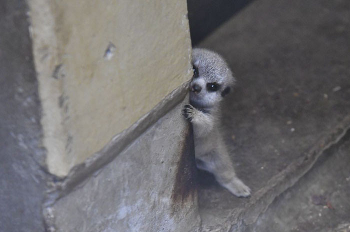 The cautious little guy peeped around the corner from behind a wall, and seemed to be afraid at first.