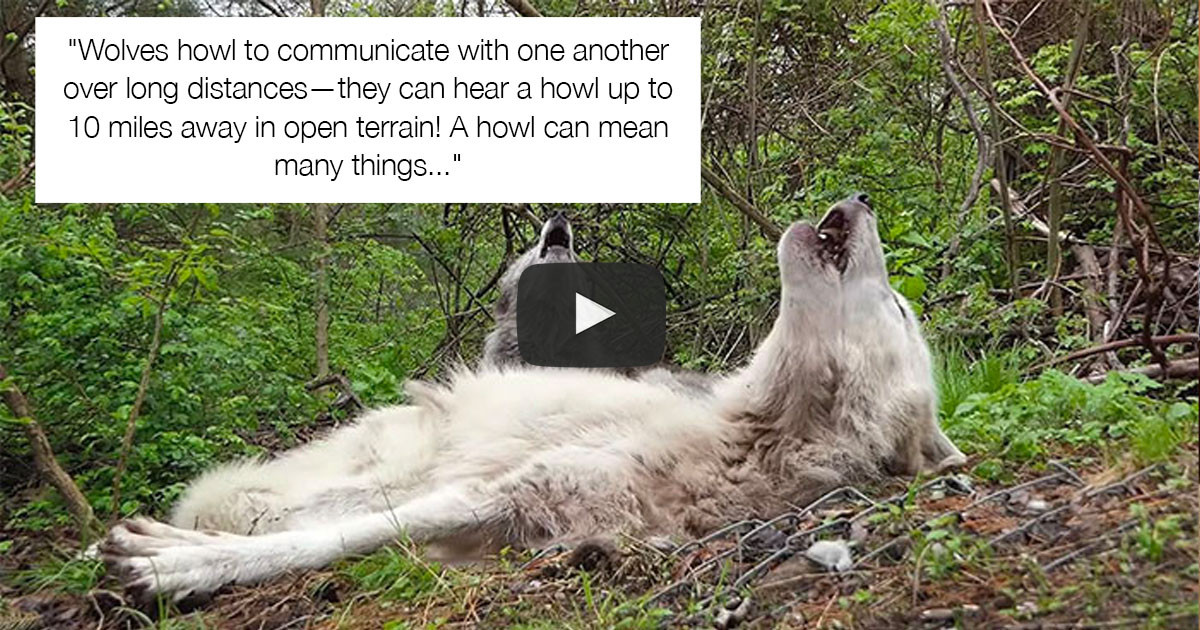 These Wolves Have Gone Viral For Being So Lazy That They Don't Even Get Up To Howl
