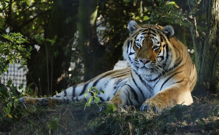 #3 Tiger Populations Are On The Rise