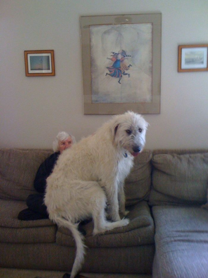#4 My Irish Wolfhound, Sitting On Grandma's Lap. He Has No Idea How Big He Is
