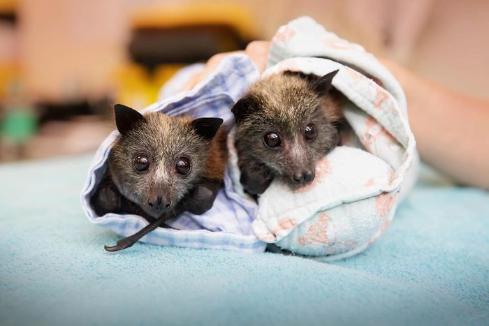 #20 Over 600 bats were transported to caring facilities in New South Wales