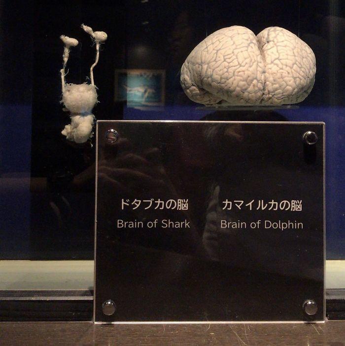 Shark's Brain vs. Dolphin's Brain