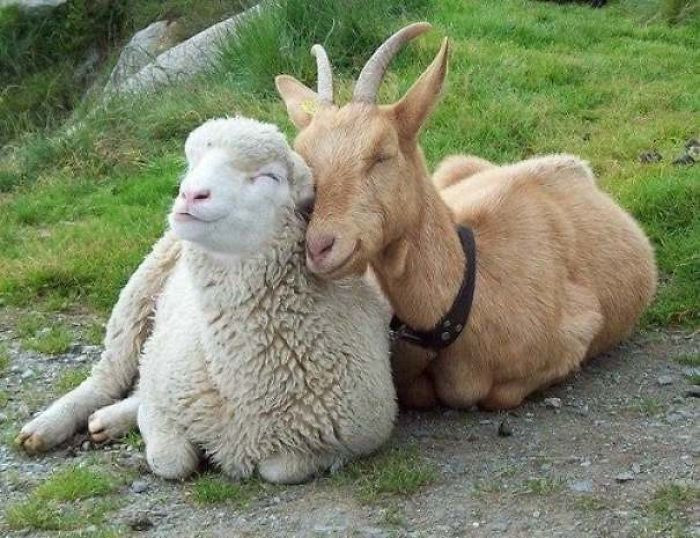 23. Goat And Sheep Friends