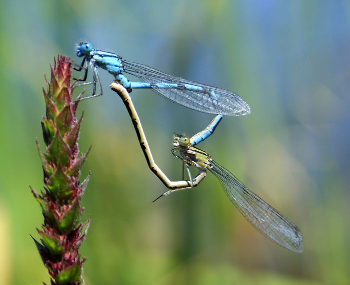 #40 Dragonflies And Damselflies Form A Heart With Their Tails When They Mate