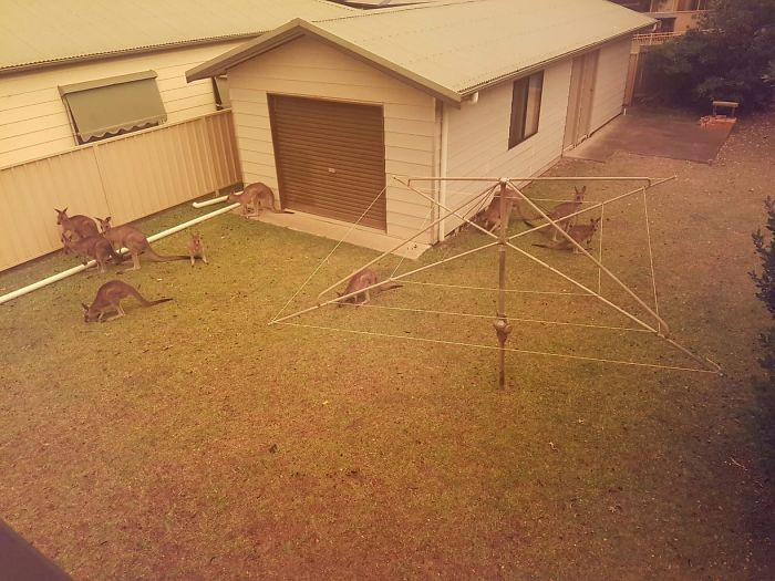 #24 Kangaroos seek refuge wherever they can. Even if it is a fenced backyard.